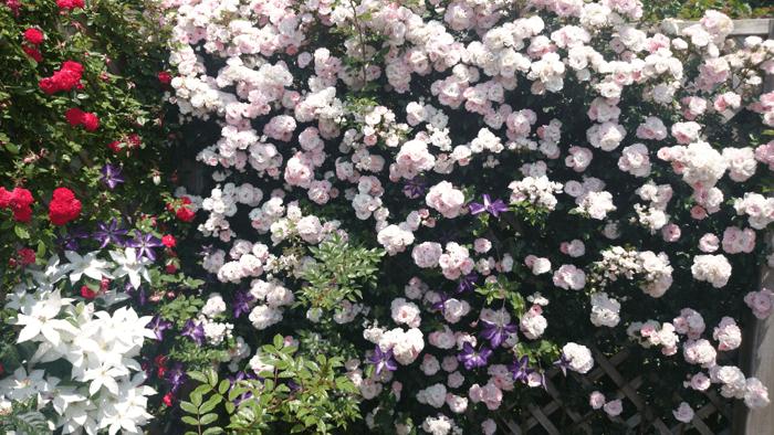 150526花菜ガーデン3