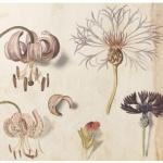 世界遺産キュー王立植物園所蔵 イングリッシュ・ガーデン 英国に集う花々展