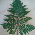 【フラワーアレンジメント】葉物(グリーン)の上手な使い方講座1【レザーファン(シダ)】