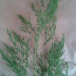 【フラワーアレンジメント】葉物(グリーン)の使い方講座5【アスパラミリオン】