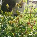 【バラ】急に枯れた原因はカミキリムシの幼虫だった