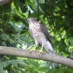 裏の林にいた猛禽類の鳥は【ツミ】なのか【ハイタカ】なのか調べてみた