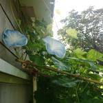 今朝の朝顔グリーンカーテンにも咲きました!