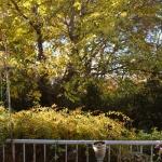 我が家の黄葉が最高な時!