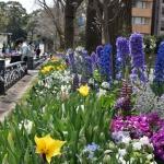 【日本大通り・横浜公園】花壇とチューリップ観てきました!