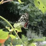 【アカボシゴマダラ】最近よく見かける蝶!綺麗だけど外来種!