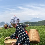 【八十八夜】な季節を楽しむ!茶摘体験なかなか面白そう!