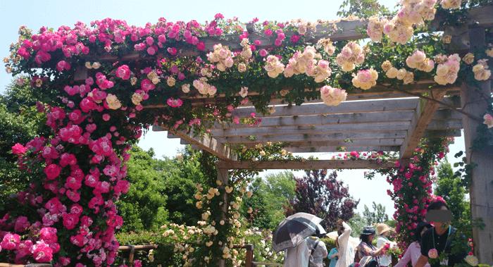 150526花菜ガーデン1