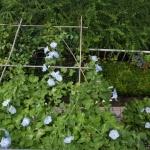 【グリーンカーテン】今年は朝顔が調子いい!縮れには殺虫剤が有効!