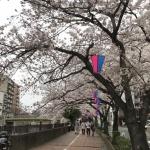 【大岡川の花見】南太田から日の出町の桜は満開手前でした