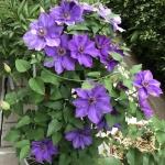 【5月の庭】今年はクレマチスとバラの新顔が綺麗です!