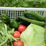 【家庭菜園】トマトとキュウリ夏野菜も出来始めました