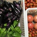 【家庭菜園】今の旬はナスとミニトマト!大量消費の食べ方を研究しなくちゃ!