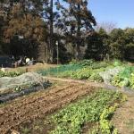 【家庭菜園】菜の花の最盛期!さまざまな野菜の菜花を食べています!