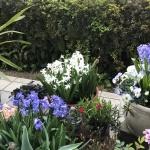 【ヒヤシンス】春花壇に植えっぱなしにできて最適です!