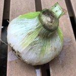 【生ニンニク】生産者しか食べられないホクホク採れたて新鮮ニンニク食べてみました!