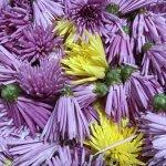 【もってのほか】秋の味覚!癖が無くて食べやすい食用菊です!